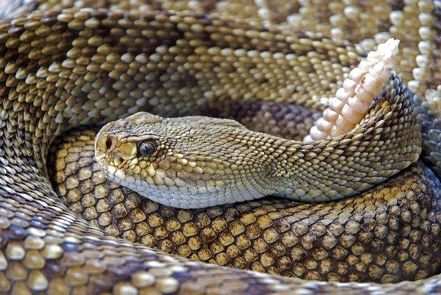 stočený had