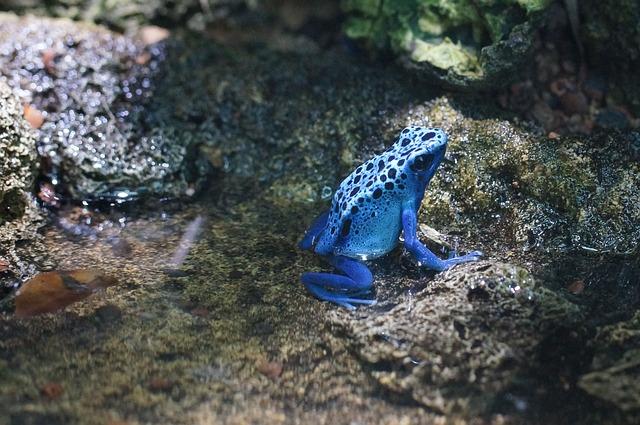 modrá žabička