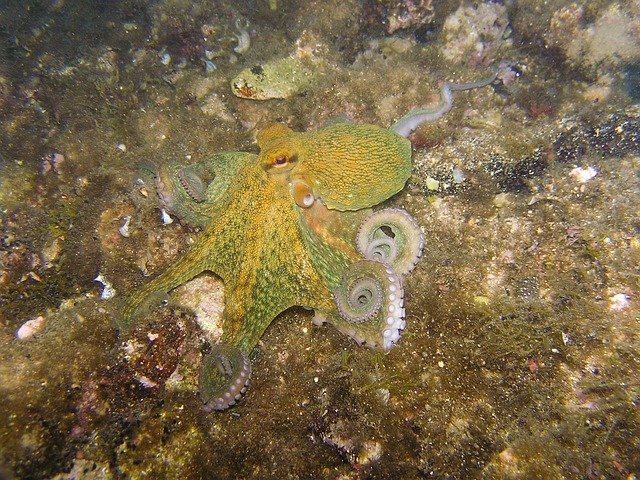 zelená chobotnice