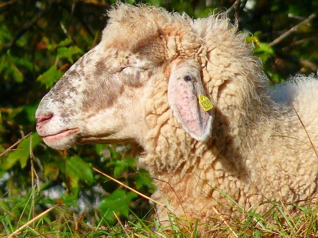 ovčí hlava